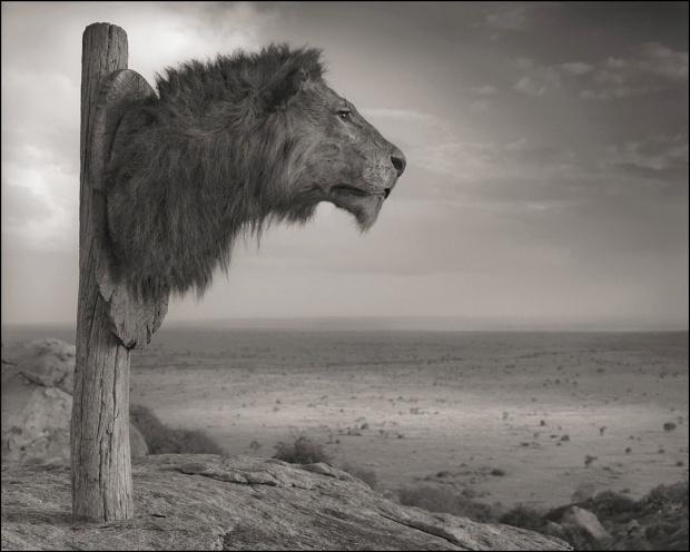 Lion Head Trophy